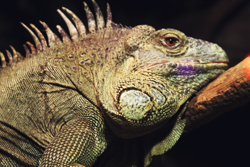 reptile31