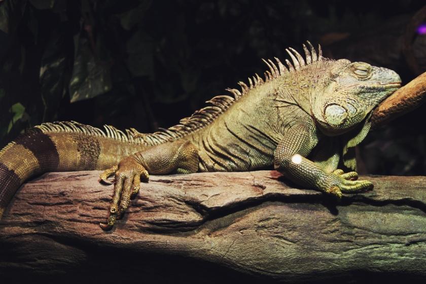 reptile33